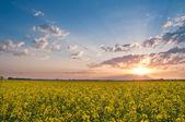 Rape field at sunset — Stock Photo