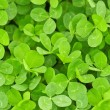 Clover texture — Stock Photo