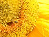 Včela na slunečnice — Stock fotografie