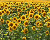 Field of sunflowers — Stock fotografie