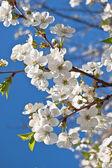 весна вишневого цветов — Стоковое фото