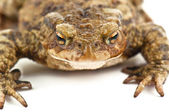 Ugly toad on white — Stock Photo
