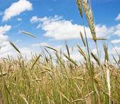 Field of rye — Stock Photo