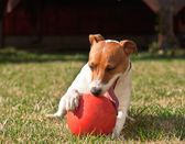 Dog with ball — Photo