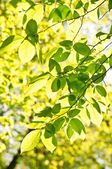Bech leaves — Stock Photo