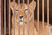 Lion in captivity — Stock Photo
