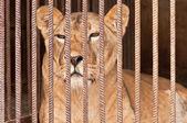 Lion in gevangenschap — Stockfoto