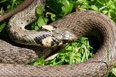 Live snake — Stock Photo