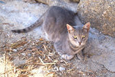 A grey cat — Stock Photo