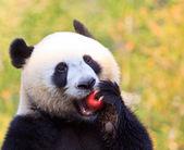 Panda bear — Stock Photo