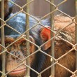 Chimpanzees in captivity. — Stock Photo #27231921