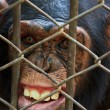 Chimpanzees in captivity. — Stock Photo
