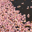 Pink flowers Tabebuia rosea blossom — Photo