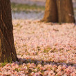 Pink flowers Tabebuia rosea blossom — Stock Photo