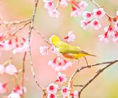 White-eye Bird on Cherry Blossom and sakura — Stock Photo