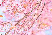 Kirschblüte und Sakura-Hintergrund — Stockfoto