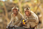 Monkey in thailand — Stock Photo