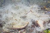 Iridescent shark Fish Striped catfish — Stock Photo
