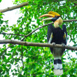 Great hornbill — Stock Photo #28438053