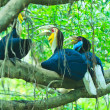 Great hornbill — Stock Photo #28438213