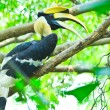 Great hornbill — Stock Photo #28438621
