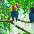 Great hornbill — Stock Photo #28438969