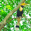 Great hornbill — Stock Photo #28439149