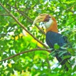 Great hornbill — Stock Photo #28439431