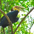 Great hornbill — Stock Photo #28439465