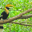 Great hornbill — Foto de Stock