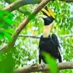 Great hornbill — Stock Photo #28439709