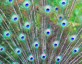 Peacock feathers background — Stock Photo