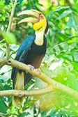 Great hornbill — Stock Photo