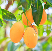 Maprang Marian Plum and Plum Mango thailand — Stock Photo
