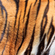 Tiger fur — Stock Photo