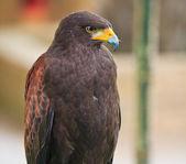 Hawk — Stock Photo