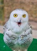 雪のフクロウ — ストック写真