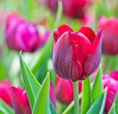 Fresh tulips — Stock Photo