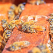 bees — Stock Photo #36059363