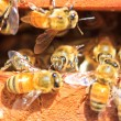 Bees — Stock Photo #36059407