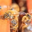Stock Photo: Bees