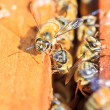 Bees — Stock Photo #36059419