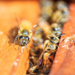 Bees — Stock Photo #36059431