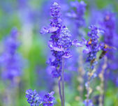 Purple lavender — Stock Photo