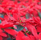 Christmas Flowers — Stock Photo