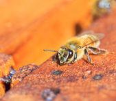 Bees — Stock Photo