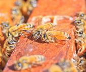 Bees — Stok fotoğraf