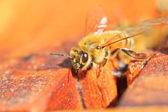 Bienen — Stockfoto