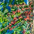 Coffee trees — Stock Photo #36541319