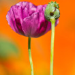 Opium poppy — Stock Photo